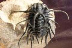 Dicranurus monstrosus (BARRANDE, 1852)