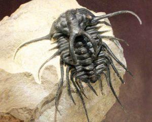 Dicranurus monstrosus